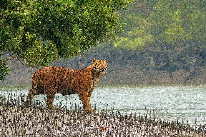 Manas National Park tiger assam