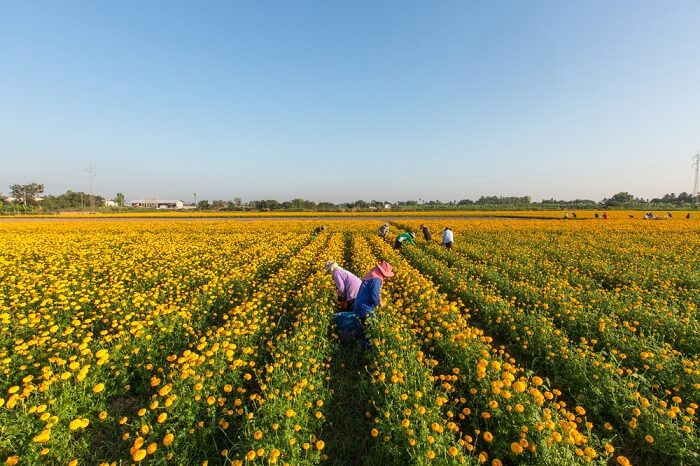 Romantic stroll in Marigold fields