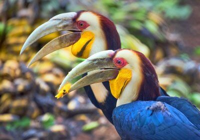 assam national parks cover picture wreathed hornbill