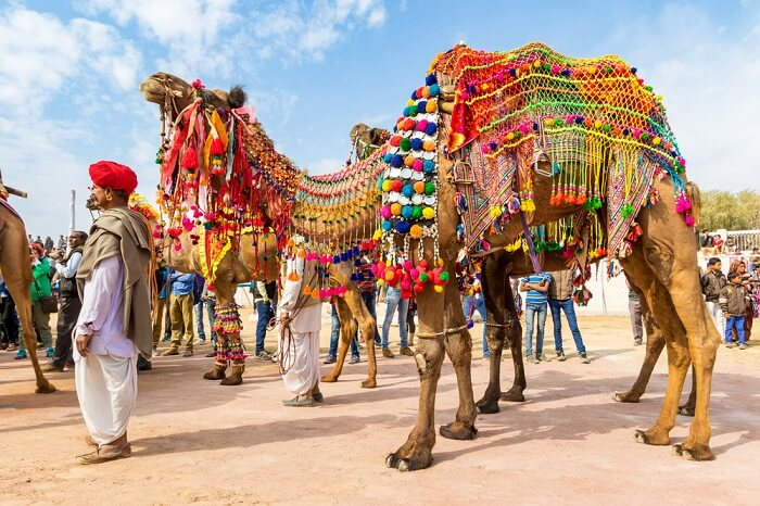 decorated camel in bikaner