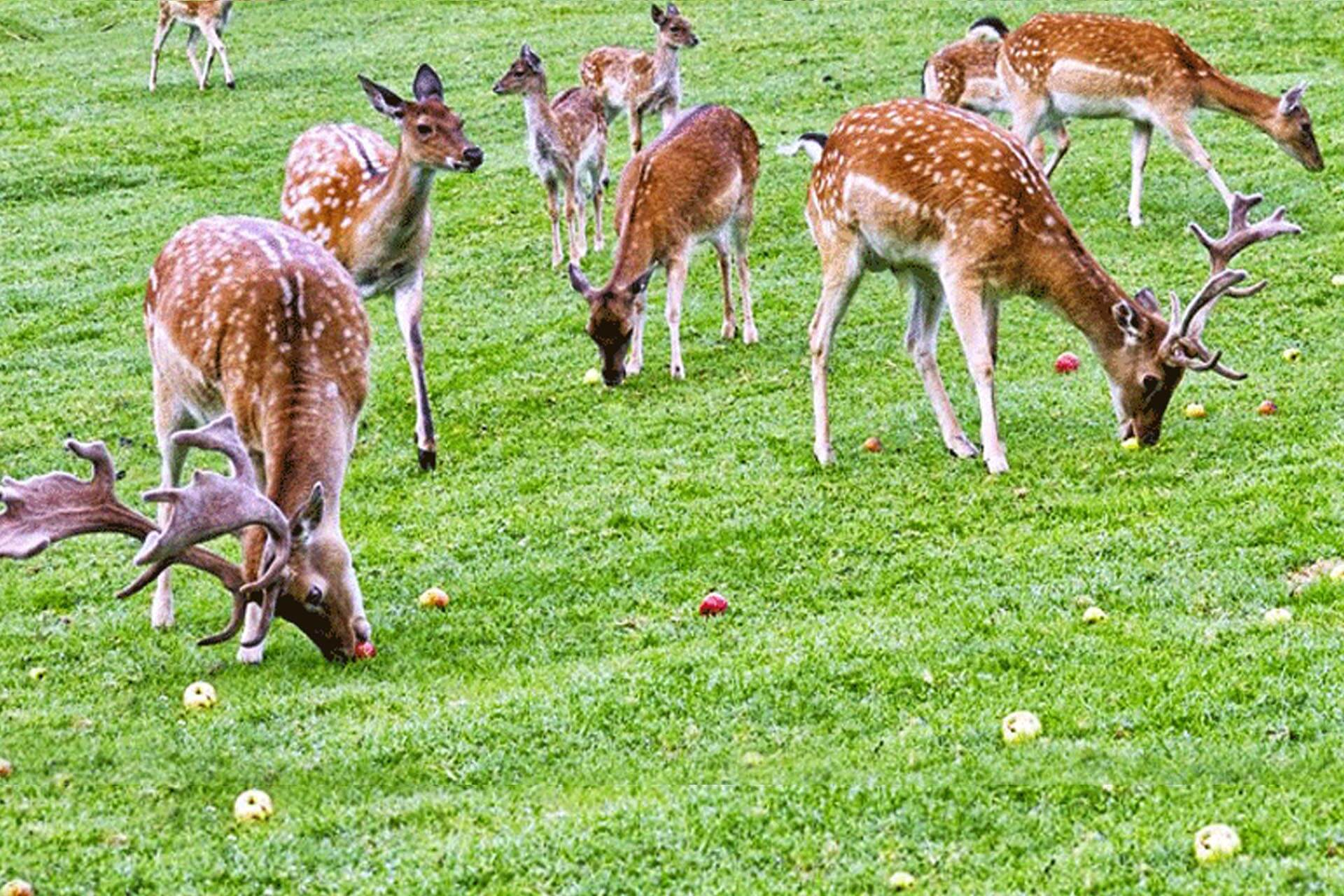 deer grazing on an extensive grass filed