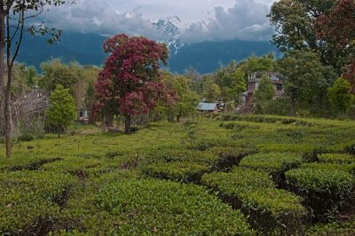 beautiful tea plantations
