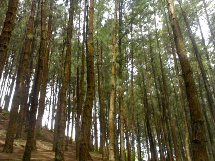 view of the pine forests