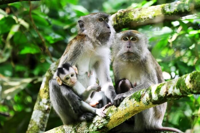 longtailed-macaque amid wilderness in Malaysia