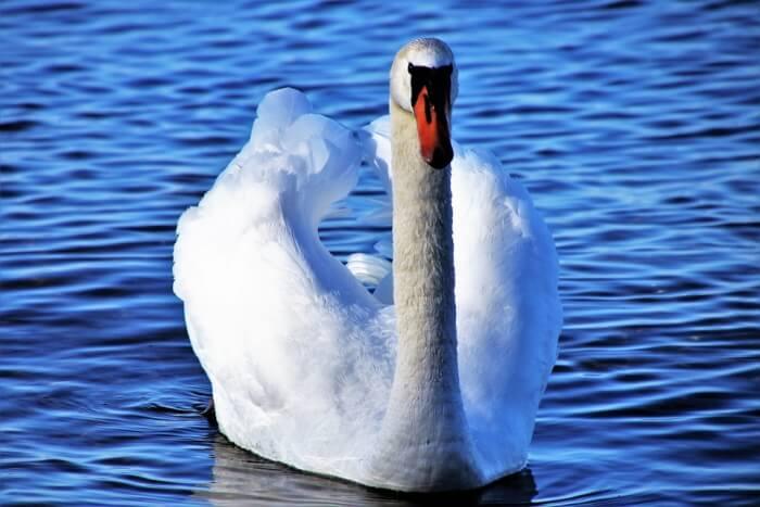 Swan on a lake in Switzerland