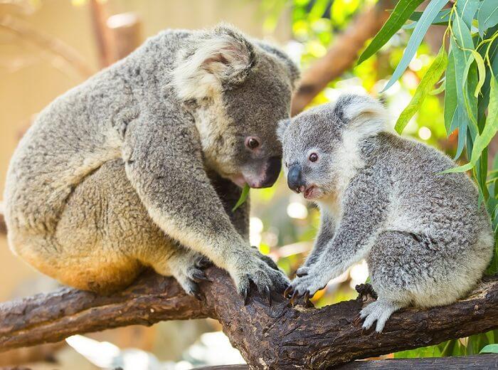 Koala bears, Wildlife at Hamilton Island, Australia