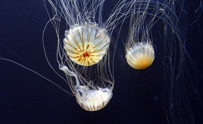Encounter Jellyfish