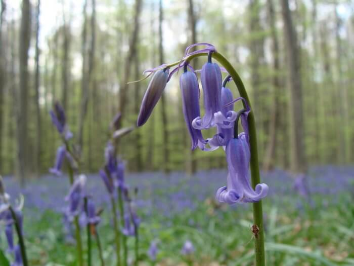 Get awestruck by the Bluebells at the Hallerbos