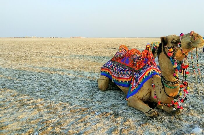 Camel Safari at Great Rann of Kutch