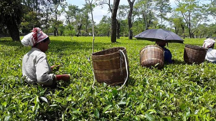 Women working in tea garden