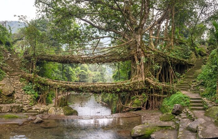 iconic living root bridges