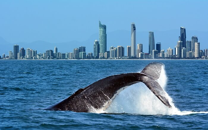 a whale in water in Gold Coast ss01052017