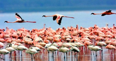 Flamingos playing near Thane in Mumbai
