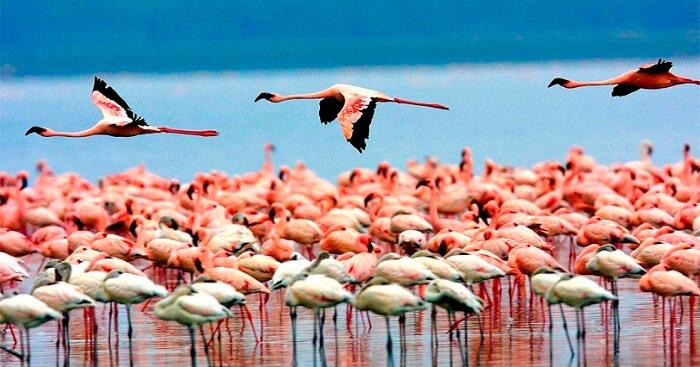 Flamingos playing near Thane in Mumbai