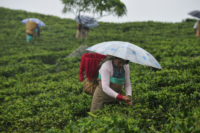 Tea estate during rain