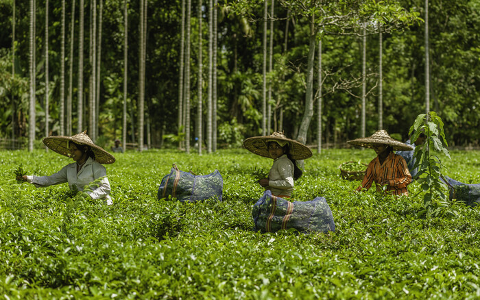 Girls in the tea estate