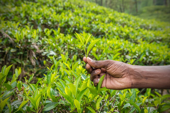 Man picking up tea leaves
