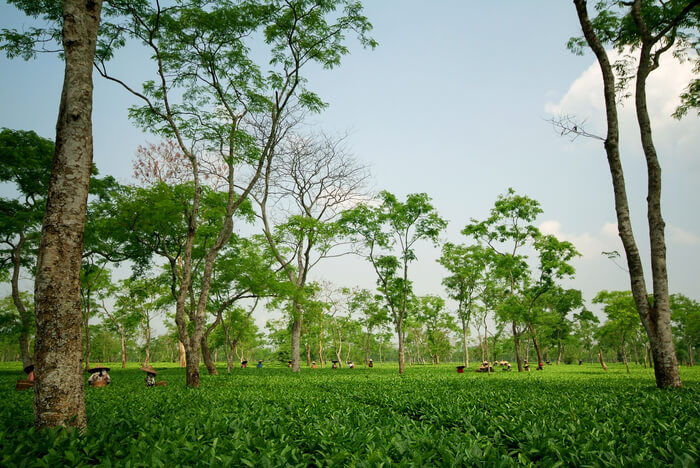 Full view of the tea estate