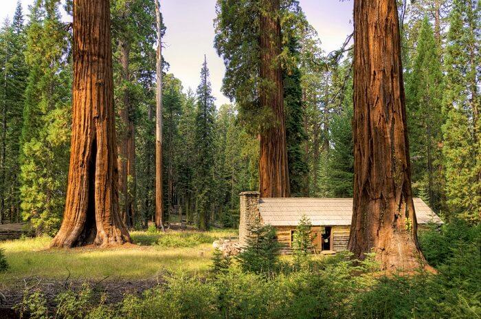 Mariposa Grove At Yosemite