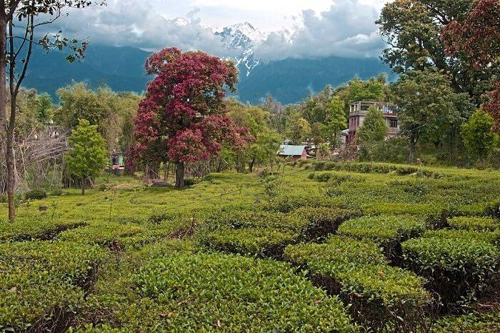Bundla Tea Estate