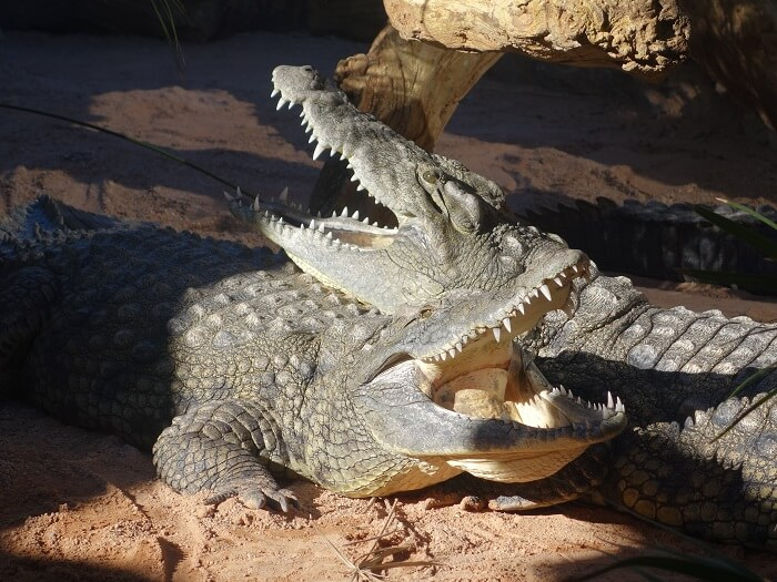 Crocodiles_resting_together