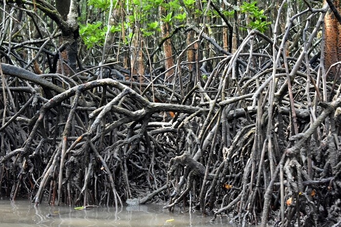 Mangroves in Andaman