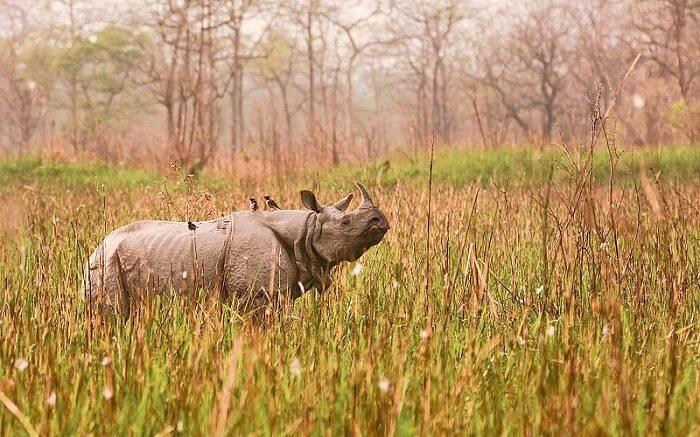 Greater_one-horned_rhinoceros