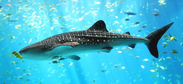 Spot whale sharks in Philippines