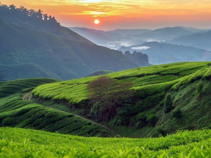 Tea_Plantation_in_Cameron_HIghlands_c8017d3e-01bb-4bfa-bd38-ff18428f173c