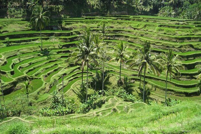 Tegallalang Rice Valley