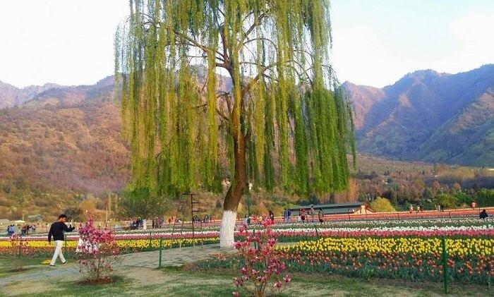 Tulip Garden in Kashmir