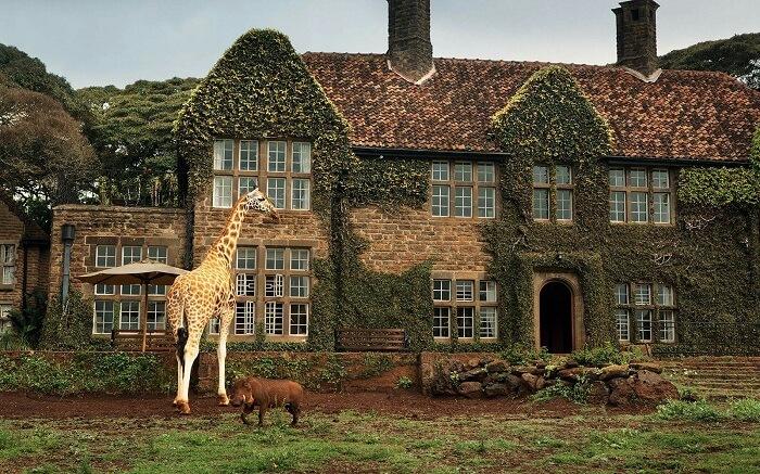 acj-3005-giraaffe-manor-kenya (1)