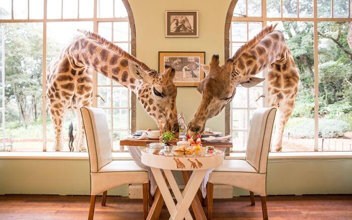 acj-3005-giraaffe-manor-kenya (3)