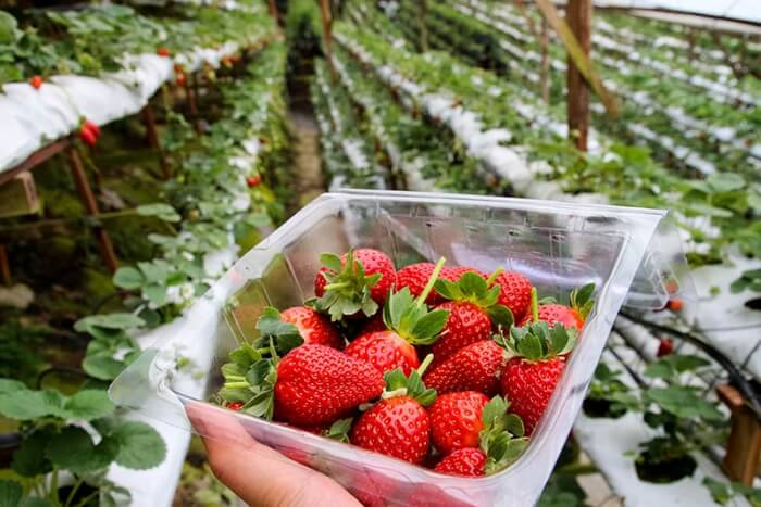 strawberry picking in Cameron Highlands