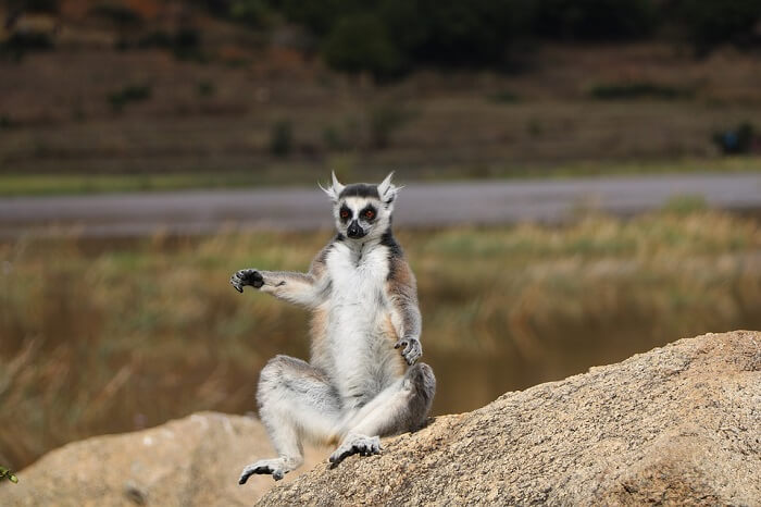 lemur in national park