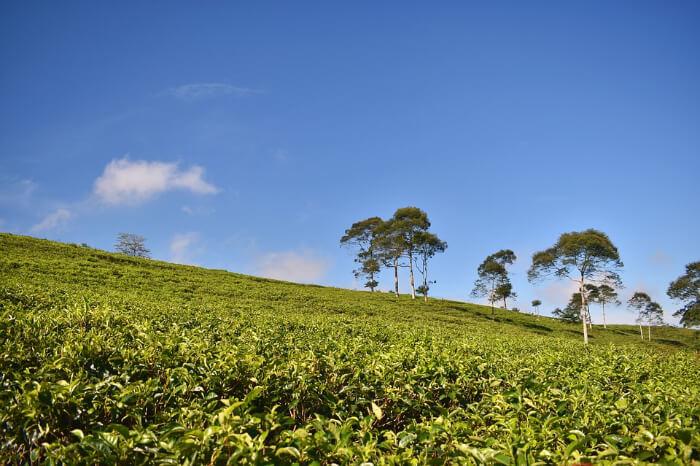 A tea garden in Dibrugarh, Assam