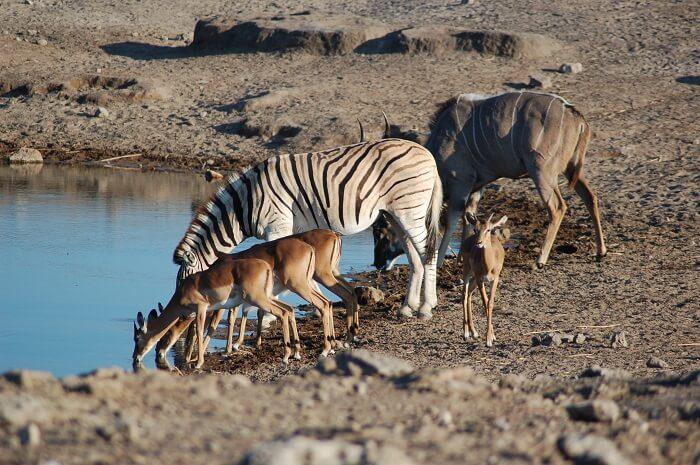 Etosha_National_Park,_Namibia_(2856071262)