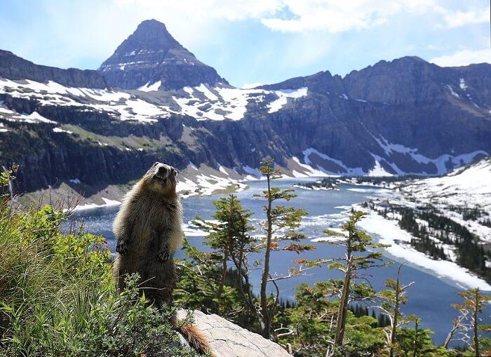 Beaver in Glacier Park
