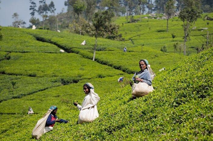 SriLanka_TeaHarvest