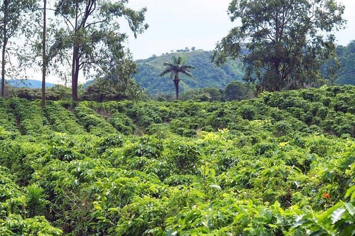 Tea Garden In Costa Rica