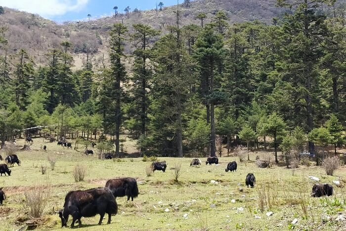 rohit bhutan family trip travelogue yaks on the way