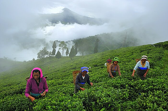tea plantation hills mist tea pluck