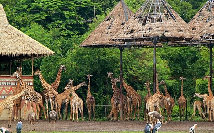 Giraffes in Jungle cruise