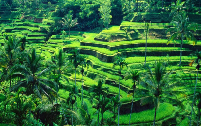 famous Tegallalang Rice Terraces
