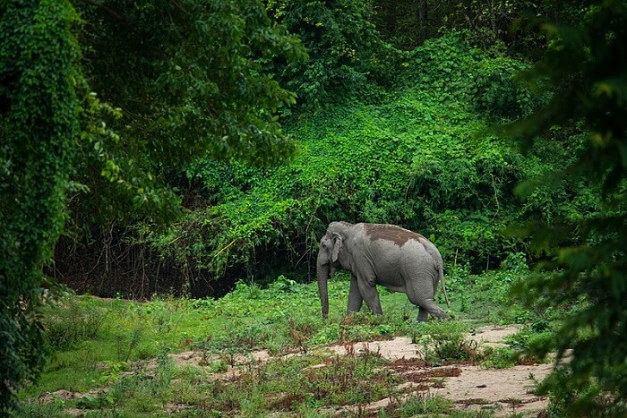 elephant amidst the khaeng wildlife sanctuary