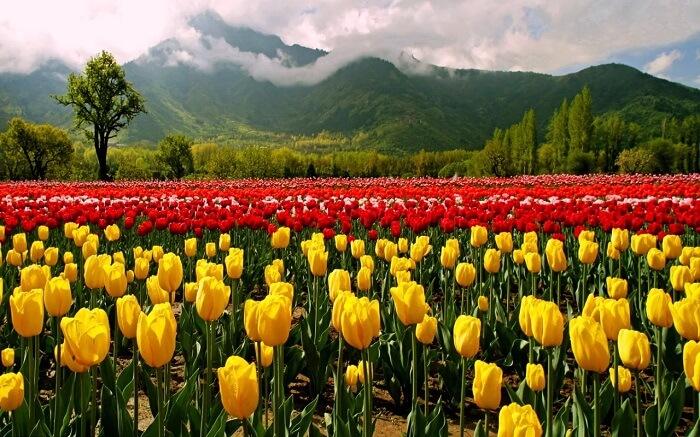 Tulip Festival in Jammu and Kashmir