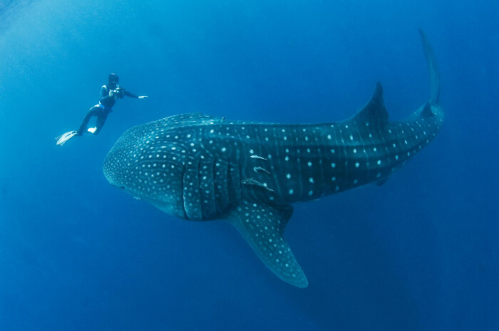A person diving next to a whale shark in Maldives