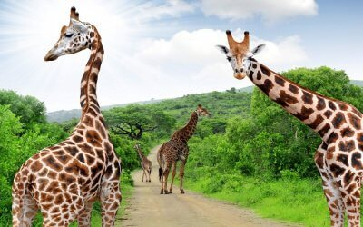 Giraffes walking in jungle in South Africa