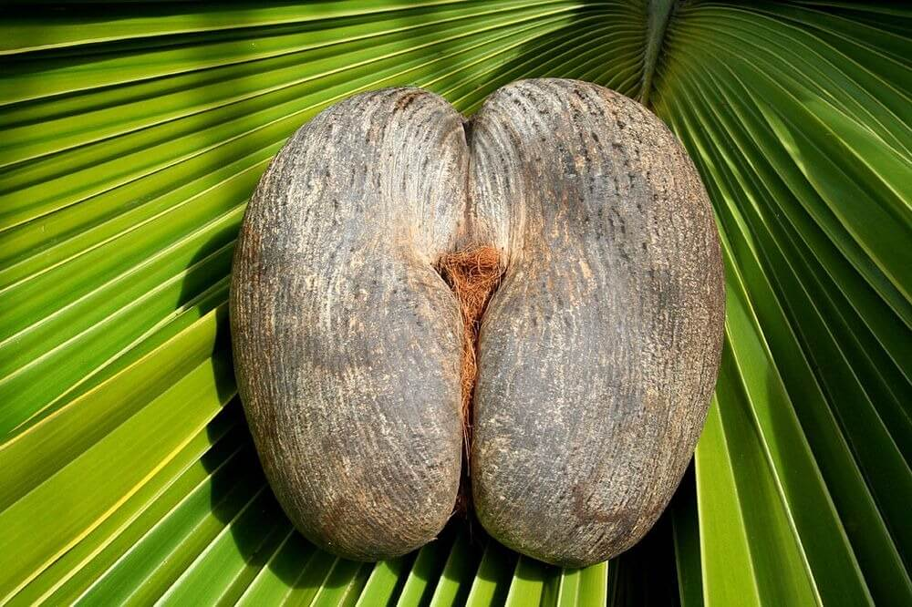 sea coconut or double coconut