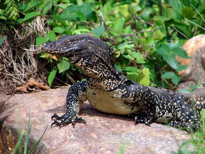 water monitor lizard